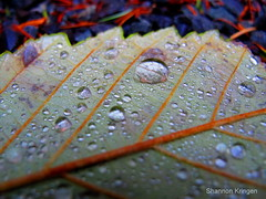 diamonds on the leaf