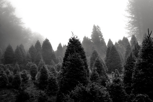 california trees bw mist fog blackwhite christmastrees losgatos douglasfir fornow otherwiseknownasjustdoug stillstuckinthefog nearingtheendofit