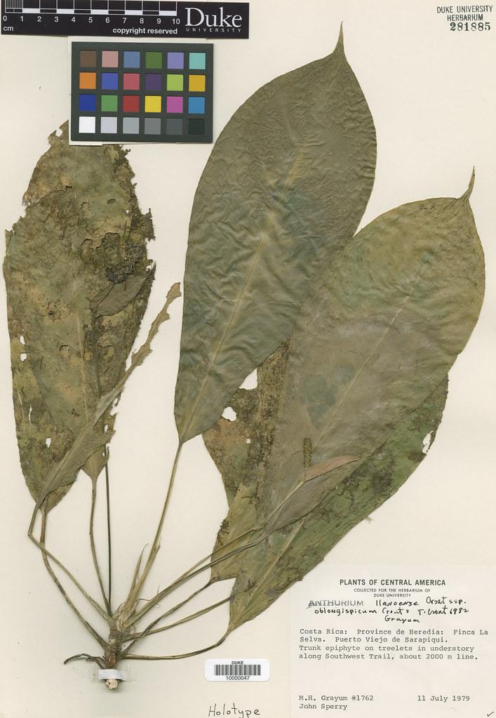 Araceae_Anthrium llanense