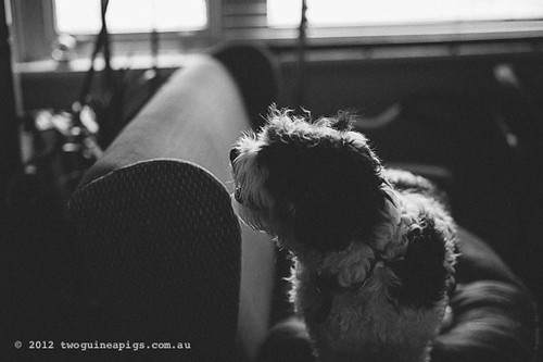 Bernard the Cavamalt by twoguineapigs pet photography