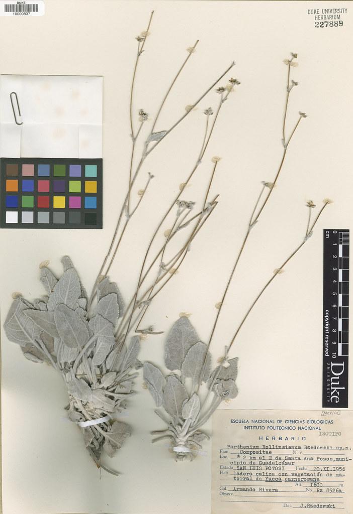 Asteraceae_Parthenium rollinsianum