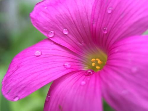 ムラサキカタバミ 紫酢漿草 Violet wood-sorrel. #oxalis #flower #7x #macro #olloclip @ @tomo_konchan's 実家