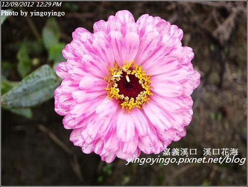 嘉義溪口_溪口花海20121209_R0010820