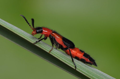 Melyrid Beetle (Red Soft-winged Flower Beetle) - Balanophorus sp.