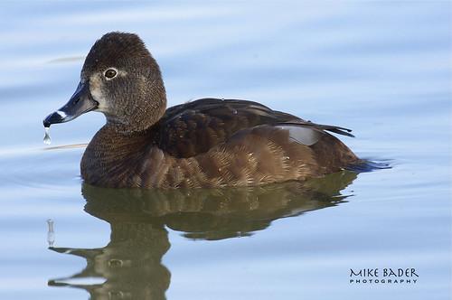 birds florida ducks avian floridawildlife lakemorton lakelandflorida floridabirds ringneckduck