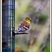American Goldfinch by Brenda Boisvert .