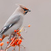 Composition in Orange & Grey  .:. Bohemian Waxwing