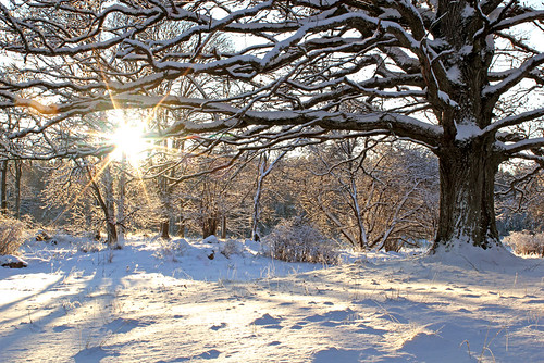 wood trees winter sun white inspiration snow cold color tree art nature colors beautiful beauty sunshine weather composition digital forest canon woodland season landscape eos oak scenery europe flickr frost december quiet afternoon silent seasons view sweden earth scenic sunny frosty best arctic foliage explore views flare imagination 100 sverige 1855mm 500 1855 oaks 1000 2012 arboga västmanland explored 550d kungsör decidous vastmanland fotocompetition valskog timlindstedt reutersberg