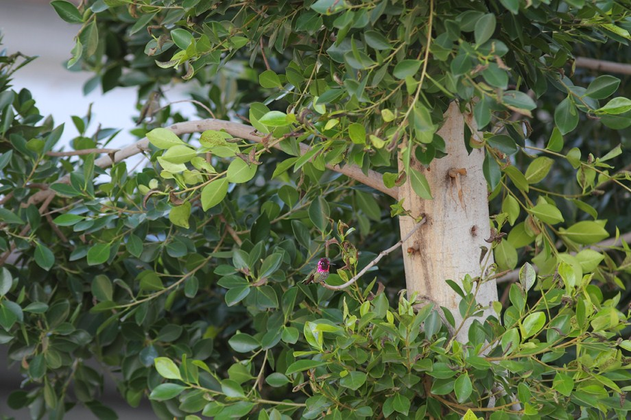 Anna's Hummingbird 122312