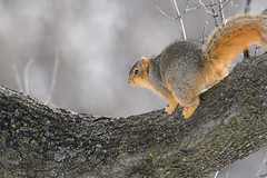 Ginger Squirrel_40773.jpg by Mully410 * Images