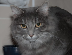 domestic long-haired cat, animal, small to medium-sized cats, pet, black cat, siberian, chartreux, cat, carnivoran, whiskers, nebelung, domestic short-haired cat,