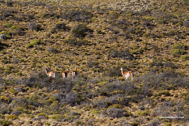 patagonia wild animals