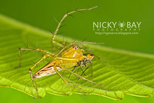 Lynx Spider (Oxyopidae) - DSC_5111