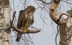 Buse variable ( Buteo buteo )