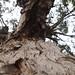 Garden Inventory: Eucalyptus - 03