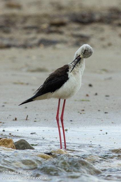 black winged stilt look over shoulder preening 2