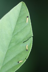Long-tailed Skipper Larvae