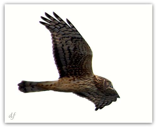 Northern Harrier (Circus cyaneus), Bolsa Chica Wetlands12.30.12