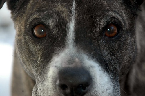 The eyes of my old pitbull, Princess.