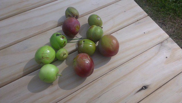 some of the apples and plums blown off by the storm