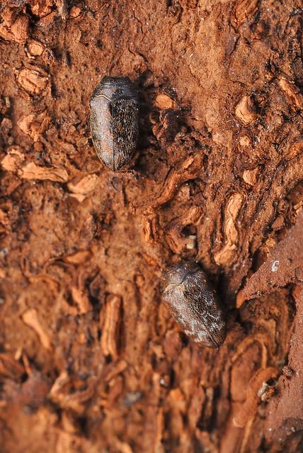 Trachys griseofasciata
