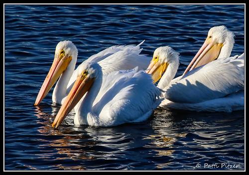 bolsa chica pelicans 0292