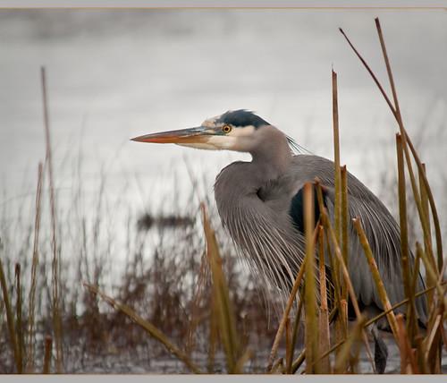 Heron in the Estuary by TT_MAC