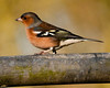 tophill low Chaffinch
