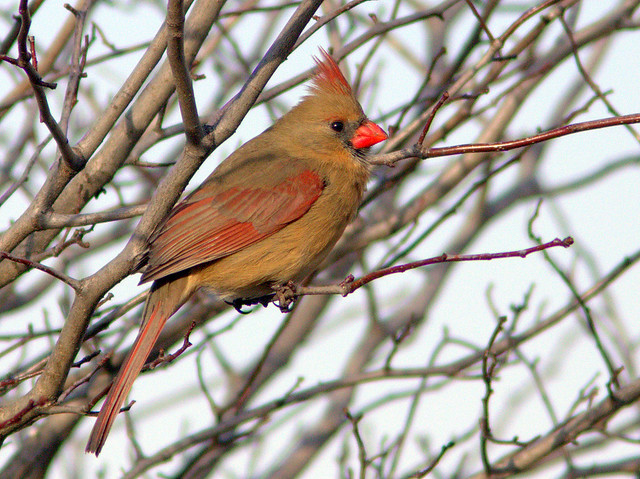 Northern Cardinal female 20130115