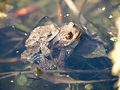 Common toad (2)