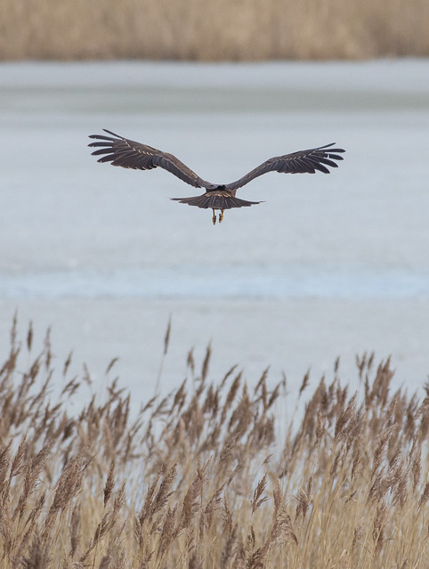Marsh Harrier Circus aeruginosus-4