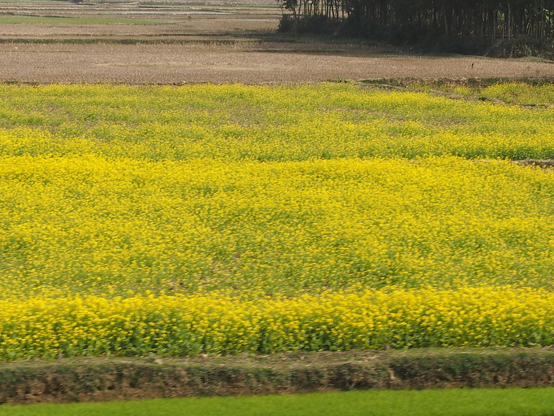 Field of Nanohana in Bangladesh