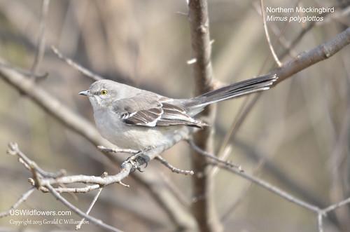 Northern Mockingbird - Mimus polyglottos by USWildflowers, on Flickr