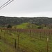 Napa County vineyards, Wooden Valley