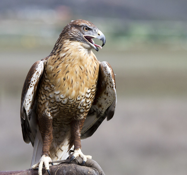 Ferruginous Hawk Flickr Photo Sharing