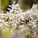 flor de mirra - commiphora myrrha by sid xavier