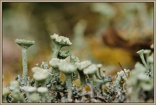 Bekermos (Cladonia)