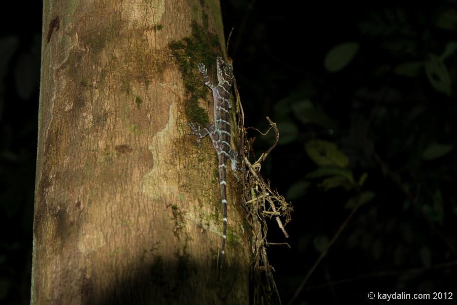 гекон в малайзии