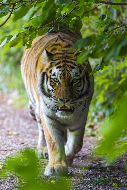 male tiger walking towards me