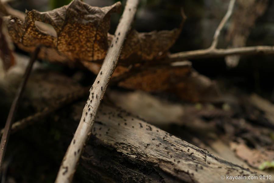 муравьи в лесу борнео