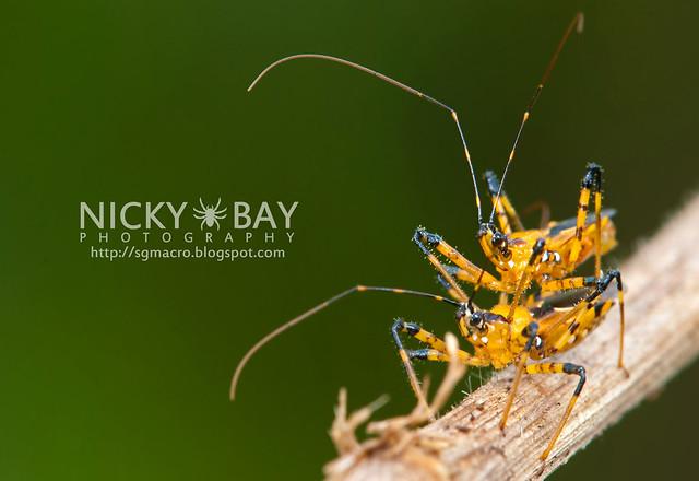 Assassin Bugs (Reduviidae) - DSC_2781