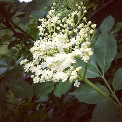 shrub, flower, branch, leaf, guelder rose, tree, plant, flora,