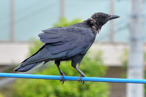 若いハシボソガラス (Young Japanese carrion crow)