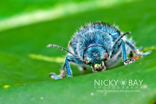 Blue Beetle - DSC_0931