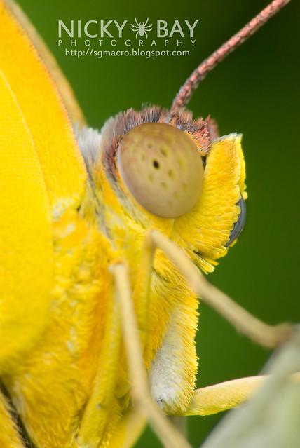 Orange Emigrant (Catopsilia scylla cornelia) - DSC_0155