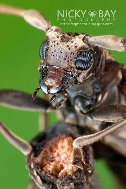 Mangrove Longhorn Beetle (Acalolepta sp.) - DSC_0997