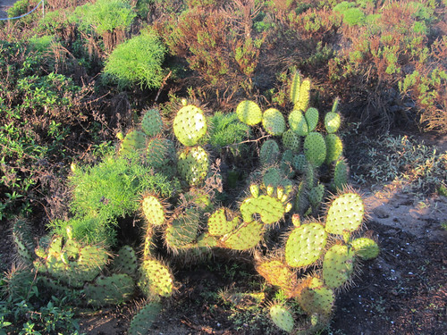 prickly pear at Point Dume