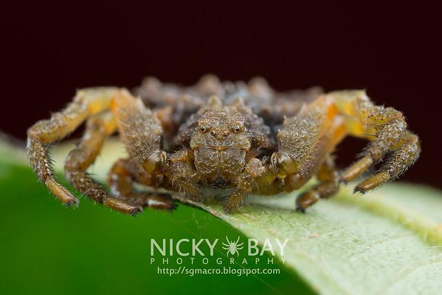 Bird Dung Crab Spider (Phrynarachne sp.) - DSC_3193