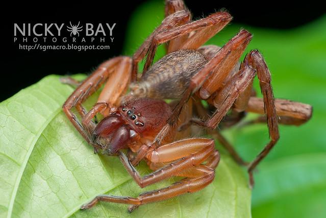 Huntsman Spider (Sparassidae) - DSC_3393