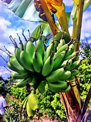 Bananas in Mekong Delta